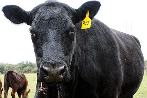 faq-cow